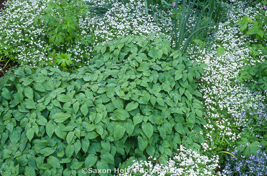 Perennial groundcovers of Epimedium (Barrenwort) and Galium odoratum syn. Asperula odorata (Sweet Woodruff)