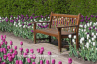 63821-21006 Bench in Tulips (Tulipa  'Negrita' (purple), 'Inzell' (White), and 'Mistress' (Pink) at Cantigny Gardens, Wheaton, IL