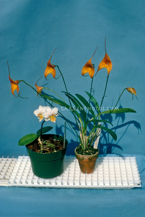 "Monopodial orchid (minature Phalaenopsis) next to a Sympodial orchid (Masdevallia), sitting on plastic ""egg crate,"" which is a good way to stand orchid pots above a tray of water to increase humidity"