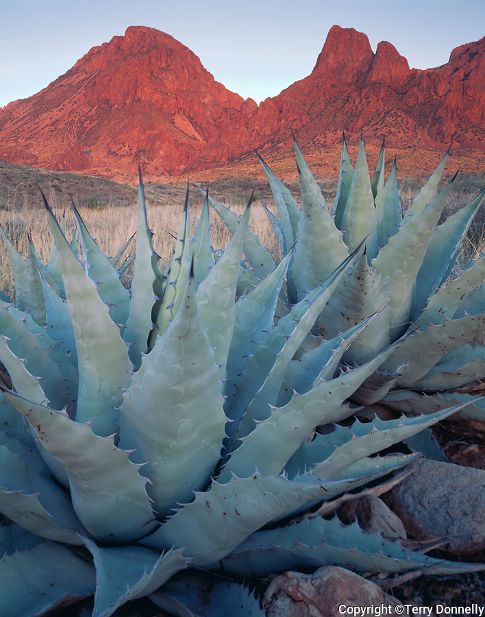Big Bend National Park, TX <br /> Two century plants or agave (A. scabra) under the profile of the Chisos mountains