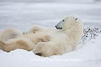 01874-107.20 Polar Bear (Ursus maritimus) female Churchill, MB Canada