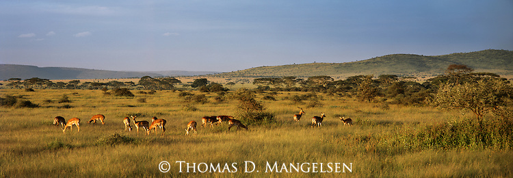At sunrise, a herd of impalas pause to feed on the tall grasses in Serengeti National Park in Tanzania.