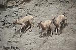 Newborn bighorn sheep lambs on rocks. Yellowstone National Park, Montana.