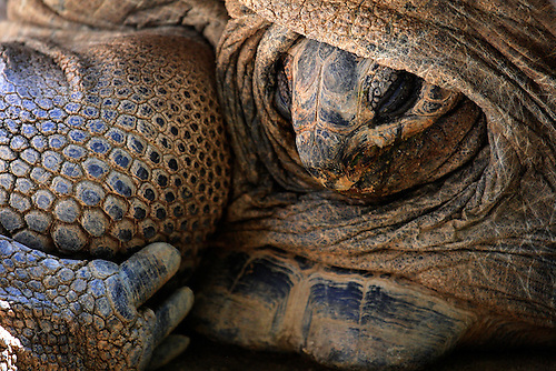 Closeup of a Giant Tortoise Turtle