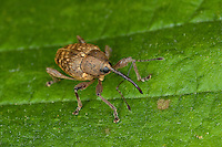 Haselnussbohrer, Haselnußbohrer, Haselnuss-Bohrer, Curculio nucum, Balaninus nucum, nut weevil, hazelnut weevil