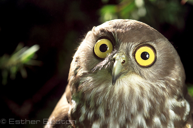 Barking Owl (Ninox connivens) head and eyes. Southeastern Australia.