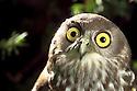 Barking Owl (Ninox connivens) head and eyes. Southeastern Australia.