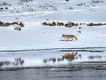 Yellowstone coyote