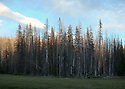 Tall trees around a meadow in the Wenatchee Mountains near Blewett Pass. Stock landscape photography by Olympic Photo Group