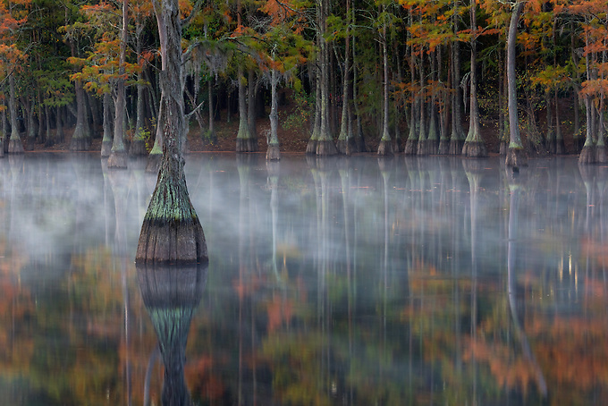 The colorful reflections of cypress trees dressed in fall color as the morning mist recedes.