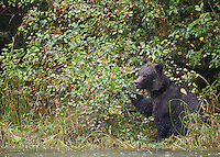 We were fortunate to spend time with several grizzly bears during the salmon spawn in British Columbia.  This bear is supplementing its diet with crabapples.