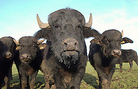Water Buffalo,Yorkshire.