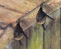 I often see sac-winged and proboscis bats during my rainforest adventures.