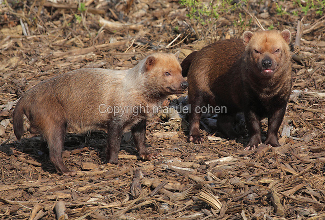 Bush dogs (Speothos venaticus), in the Zone Guyane of the new Parc Zoologique de Paris or Zoo de Vincennes, (Zoological Gardens of Paris or Vincennes Zoo), which reopened April 2014, part of the Musee National d'Histoire Naturelle (National Museum of Natural History), 12th arrondissement, Paris, France. Picture taken November 2013 by Manuel Cohen