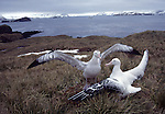 Albatross by Frank Balthis