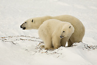 Polar bears keep alert at Wapusk National Park, Manitoba, Canada, November 2006