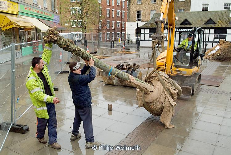Mature willow trees arrive in Church Street, Paddington, London, part of the area's regeneration programme.