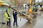 Mature willow trees arrive in Church Street, Paddington, London, part of the area's regeneration programme.