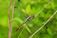 389180002 a wild female great blue skimmer libellula vibrans a large odonate in the sam houston national forest san jacinto county texas