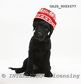 Kim, CHRISTMAS ANIMALS, photos, GBJBWP22677,#XA# stickers