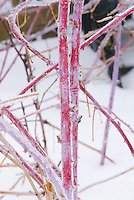 Rubus Black Raspberry fruit bush ornamental red canes stems in winter snow and ice