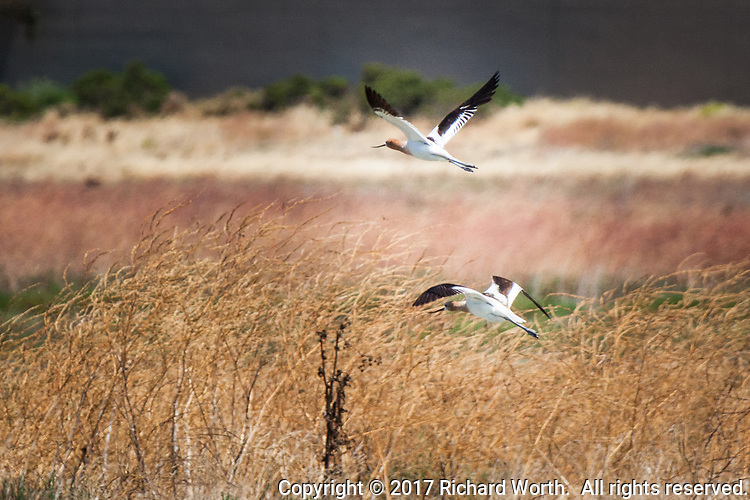 American avocets fly over summer-dry grasses at the salt marshes of the Hayward Shoreline along San Francisco Bay.