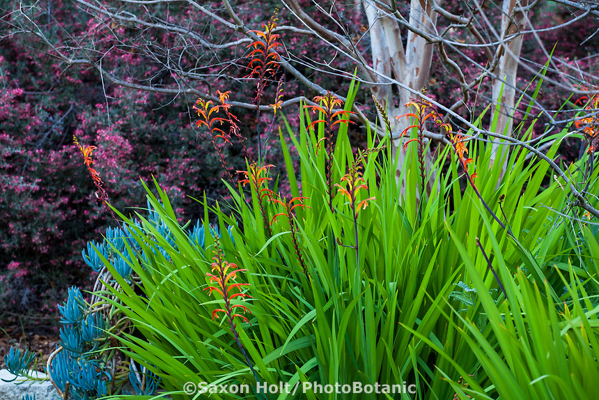 Chasmanthe floribunda (African cornflag) flowering in Arlington Garden, Pasadena