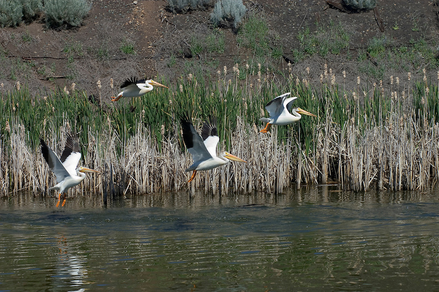 Five American White Pelicans (Pelecanus erythrorhynchos) swim in a canal - Northern California