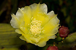 Flower of the Opuntia cactus, Opuntia robusta