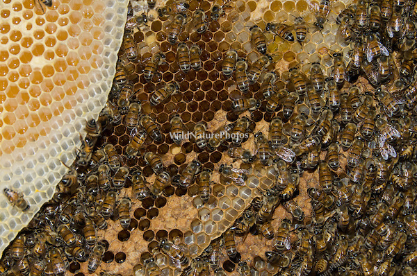 Africanized Honeybees (Apis mellifera), part of a large colony under a built-in BBQ near a house (Arizona)