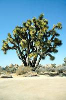 DESERT FLORA<br /> Joshua Tree<br /> Yucca brevifolia, Joshua Tree National Park