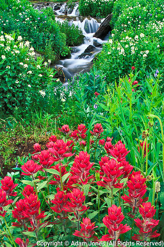 Stream and Magenta Paintbrush, Castilleja cotton,.Yankee Boy Basin, Uncompahgre National Forest, Colorado