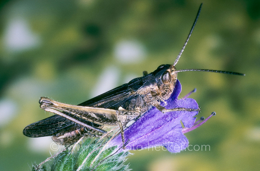 Bunter Grashüpfer, Omocestus viridulus, Common Green Grasshopper