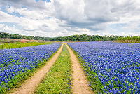 Bluebonnets beside the road in Muleshoe Park which were beautiful this year with some great clouds to make for a perfect image. This area is usually under water but for the last few years we have been in a drought so instead of water we see bluebonnets.