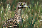 Stone Curlew, Burhinus oedicnemus, portrait in grass meadow, showing large eye.France....