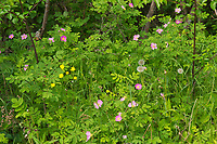 Wild rose (Rosa sp) and Buttercup (Ranunculus sp.) blossoms along with dandelions seed heads on Blinfdold Lake Road<br />
