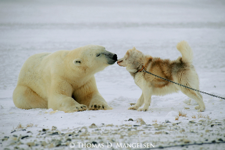 A polar bear and Arctic Eskimo dog nuzzle each other's noses at Hudson Bay in Manitoba, Canada.