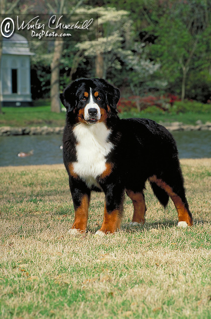 Bernese Mountain Dog<br />