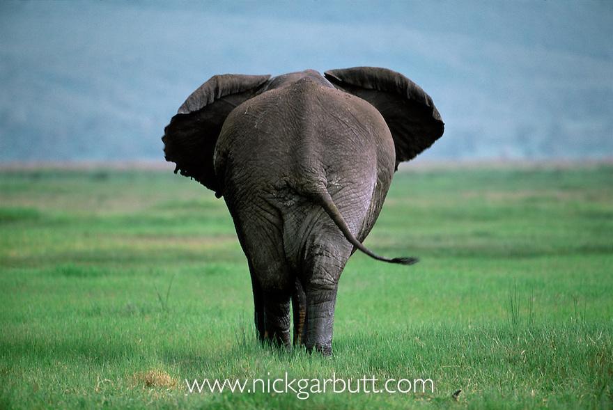 Rear of large bull African Elephant {Loxodonta africana}, Ngorongoro Crater, Tanzania.