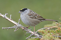 Golden-crowned Sparrow - Zonotrichia atricapilla - breeding adult