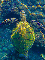 A snorkler's overhead view of a green sea turtle (or honu) swimming above the reef around One Palm, Big Island.