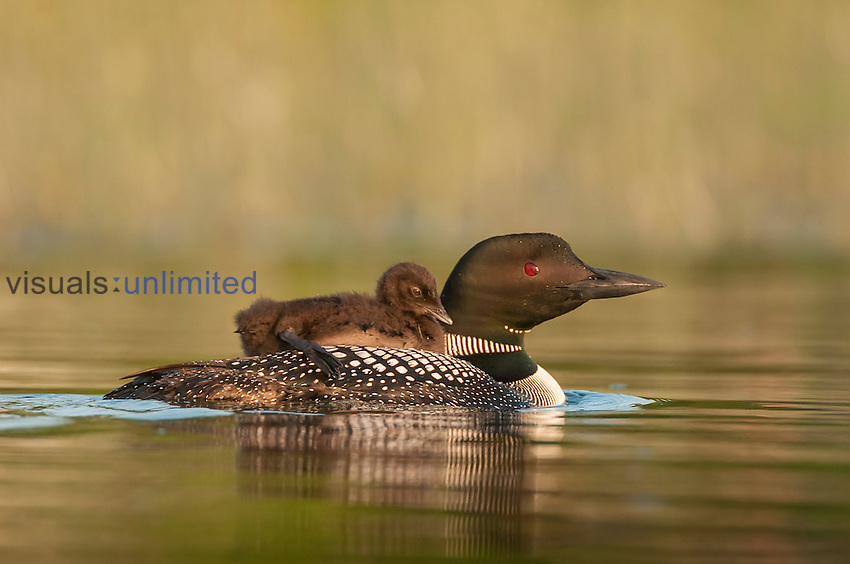 Young Common Loon riding on back of an adult (Gavia immer), Minnesota, USA