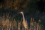 Sandhill crane (Grus canadensis) adult