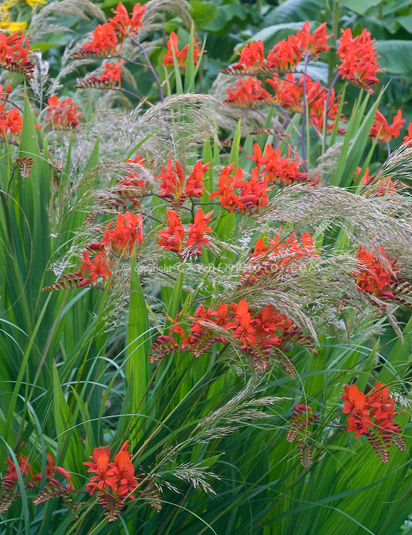 Crocosmia lucifer with stipa calamagrostis grass in garden for Long ornamental grass