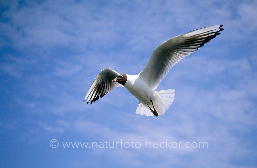Lachmöwe, im Flug, Flugbild, adult im Prachtkleid, Sommerkleid, Lach-Möwe, Lachmöve, Lach-Möve, Möwe, Möve, Larus ridibundus, Chroicocephalus ridibundus, black-headed gull
