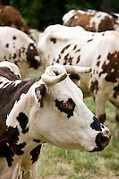 Brown and white French Normandy cow among herd of cattle in a meadow in the Dordogne area of France
