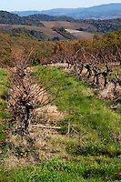 Chateau Rives-Blanques. Limoux. Languedoc. Old Mauzac grape vine variety. France. Europe. Vineyard.