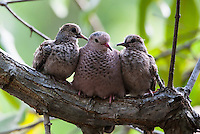Common Ground-Dove (Columbina passerina neglecta) male and juveniles resting in a tree near CoCo View Resort on the island of Roatan, Honduras.
