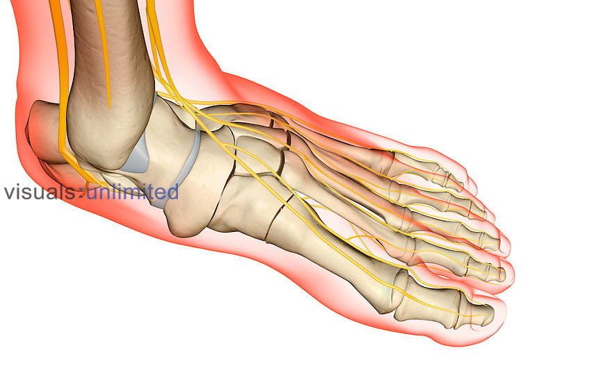 The nerves of the foot | Visuals Unlimited