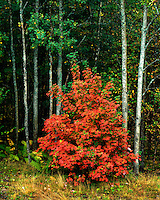Maple tree in fall color; Acadia National Park, ME